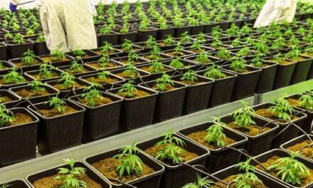 Medizinisches Cannabis aus deutschem Anbau verfügbar