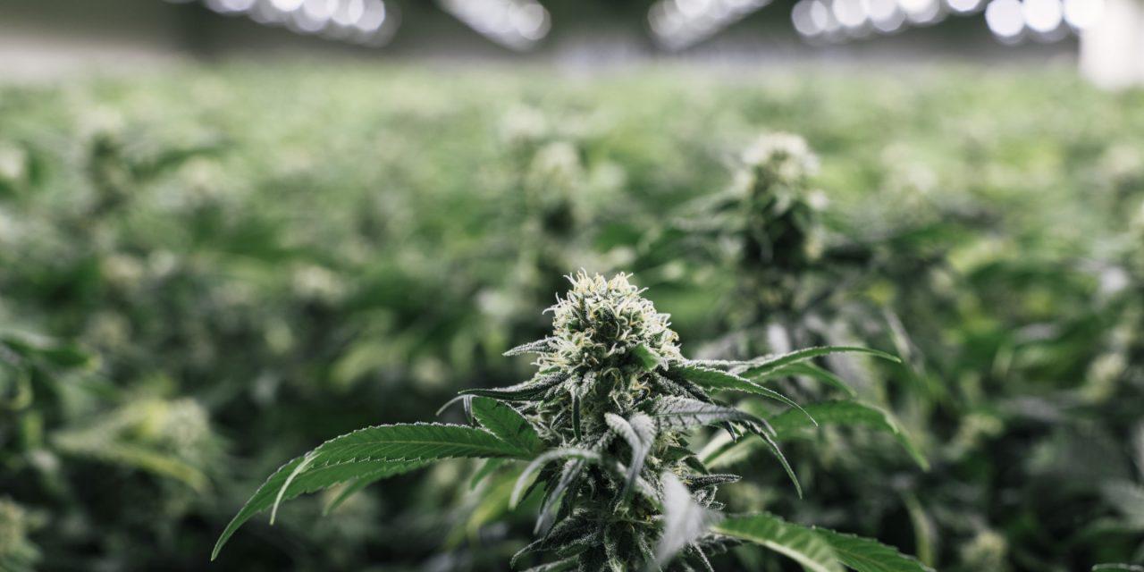 Cannabishhersteller vervierfacht Produktion