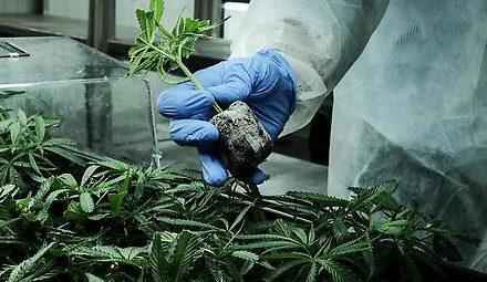 Einfuhr von medizinischem Cannabis deutlich gestiegen