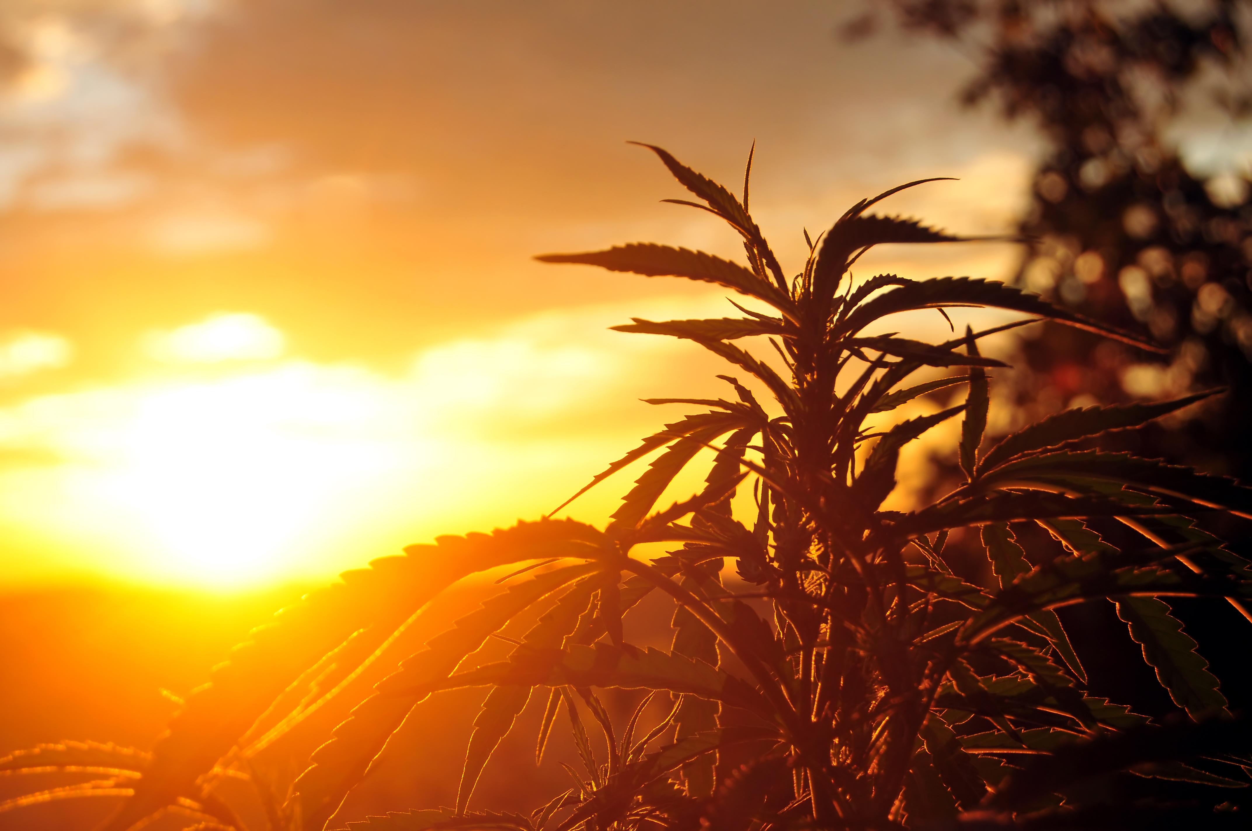 Medizinisches Cannabis gegen Krebs