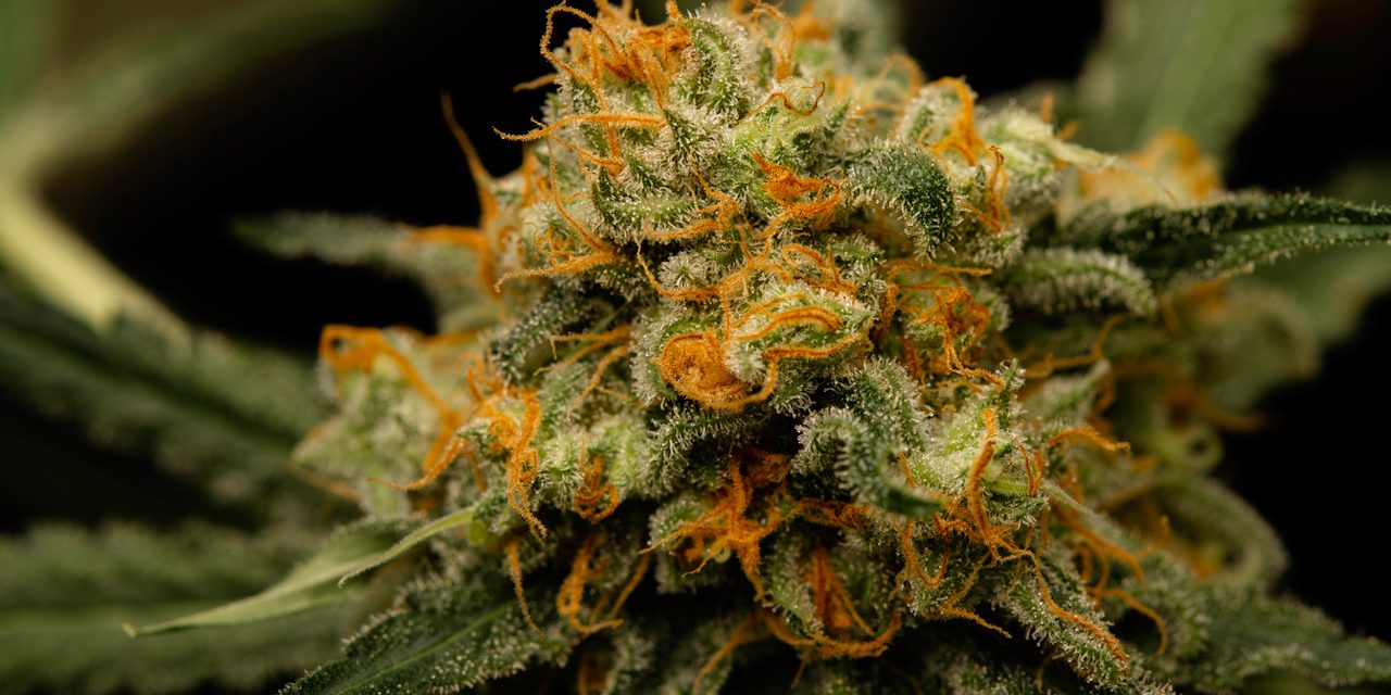 Deutscher Hanfverband lobbyiert im Europäischen Parlament für Cannabisblüten als Medizin