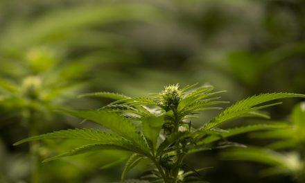 Zahl der mündigen Cannabiskonsumenten verzeichnet Rekordhoch
