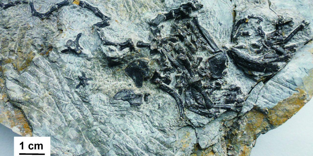 Krebs vor 240 Millionen Jahren