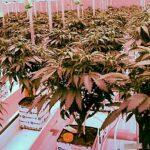 Cannabisplantage in Neumünster plant erste Auslieferung vor Juli