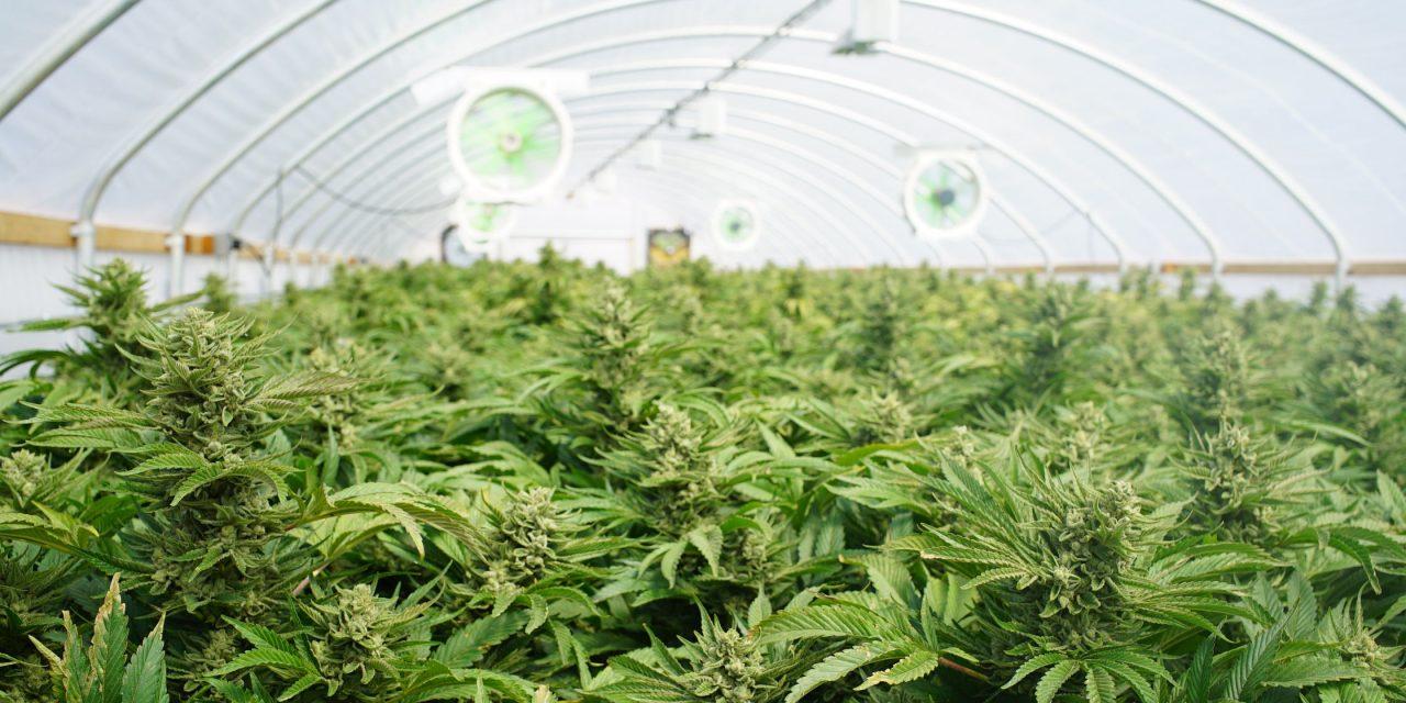 Universität Hohenheim will Cannabis genauer untersuchen