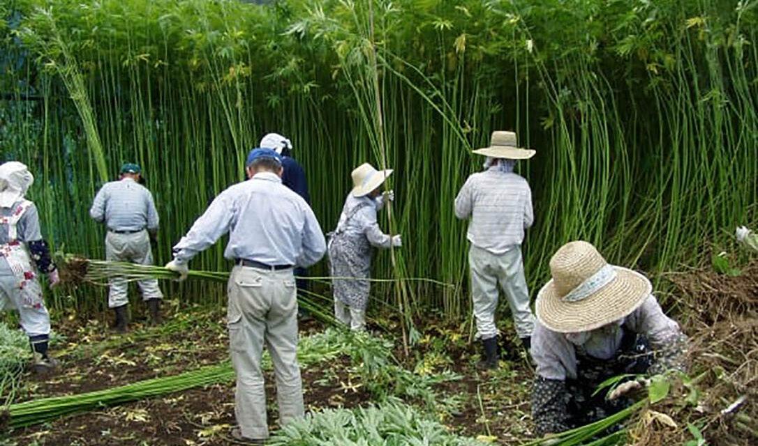 Hokkaido Hemp Association comments on Japanese Govt plans strengthen cannabis laws