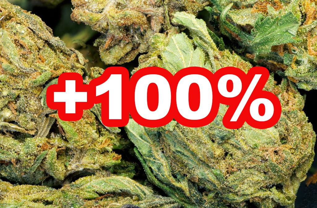 THC-Gehalt in Cannabis hat sich verdoppelt — HANF.biz