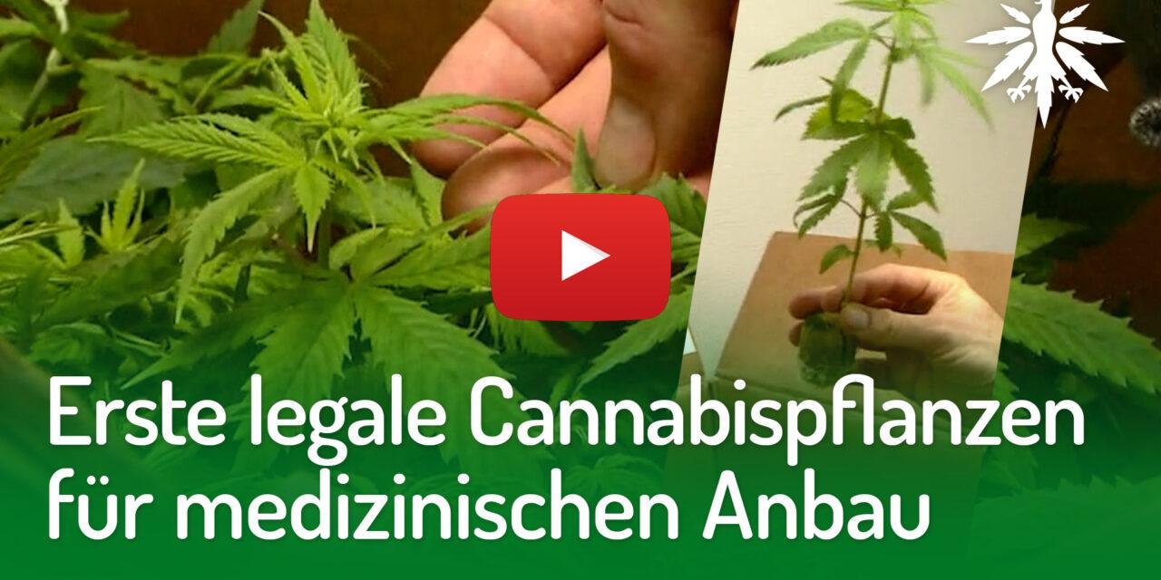 Erste legale Cannabispflanzen für medizinischen Anbau | DHV-Video-News #270